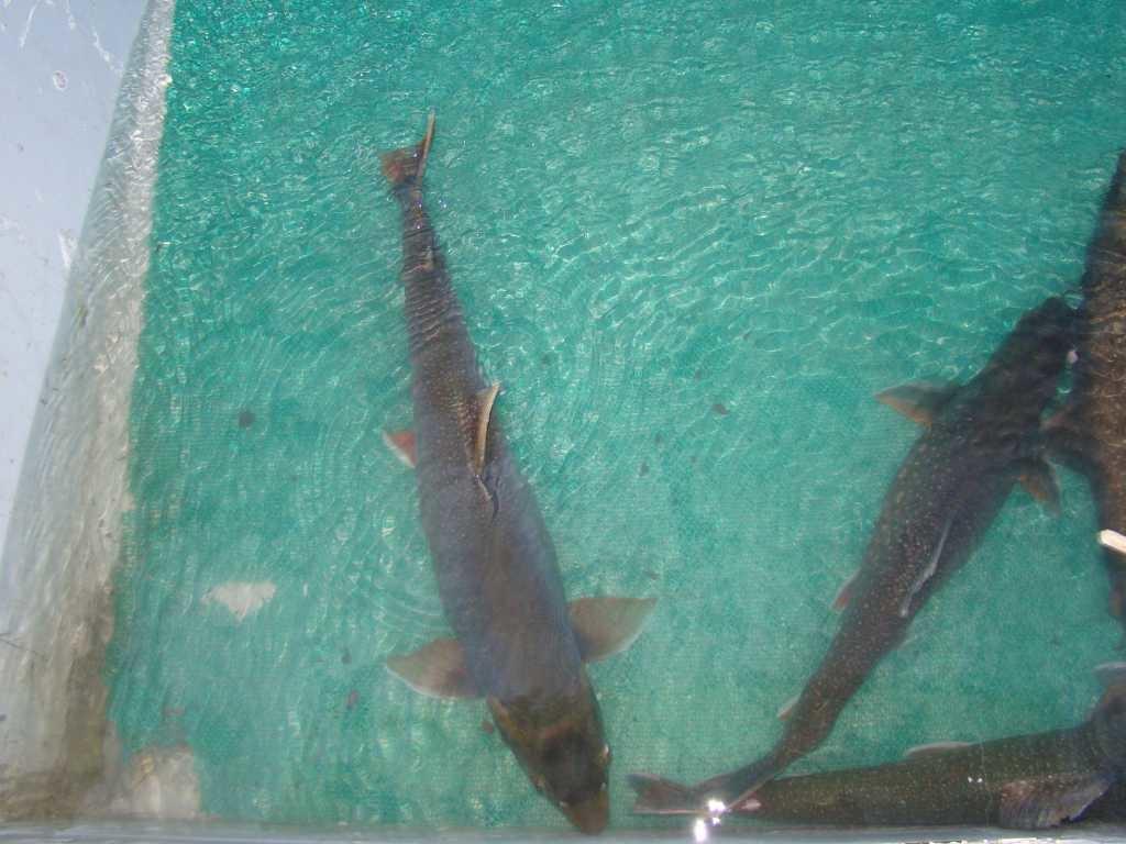 На норильском рыбозаводе вывели мальков боганидского гольца