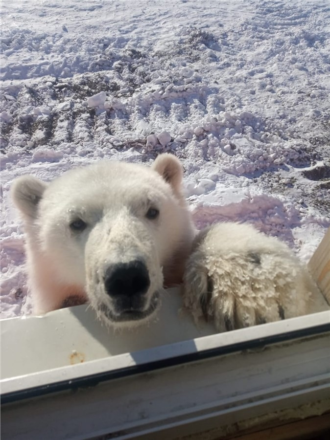 На севере Красноярского края спасли белого медвежонка