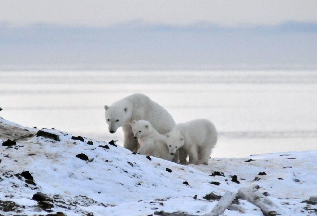Популяции белых медведей в Арктике глобальное потепление не угрожает