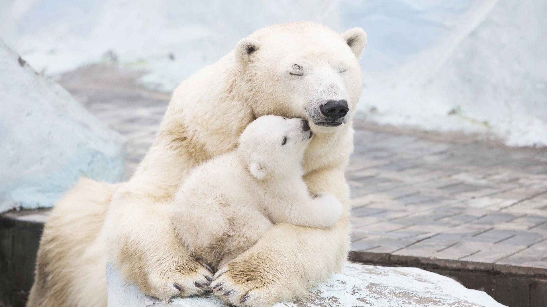 Численность белых медведей находится в устойчивом состоянии