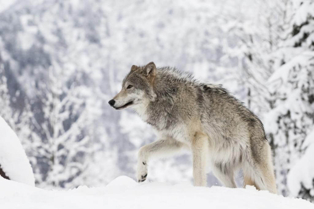 Ситуацию с дикими животными в окрестностях Норильска взяли под контроль