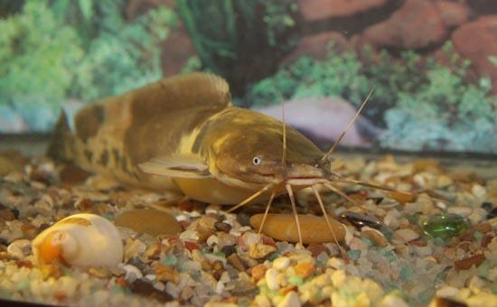 Осторожно: злая рыба!