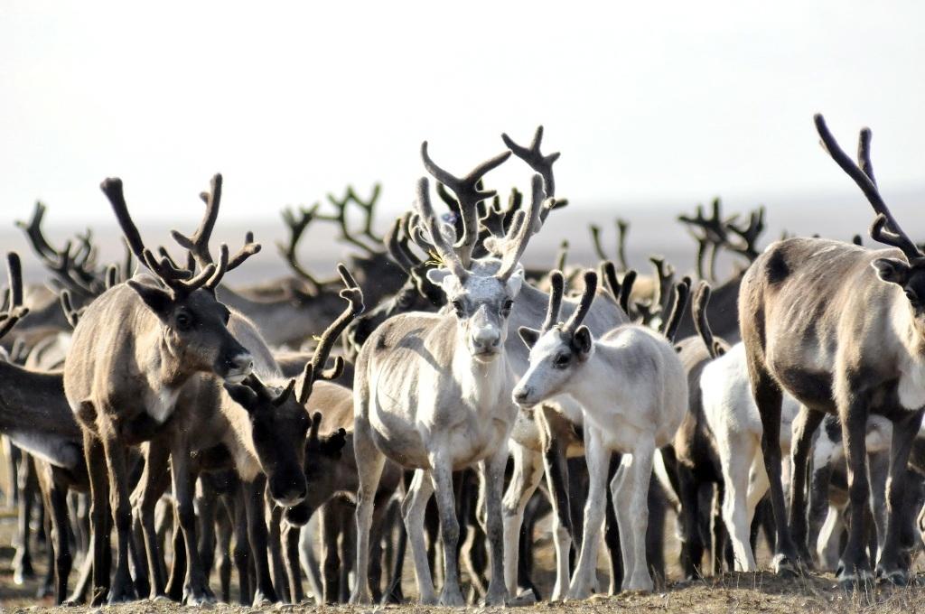 Вопросы сохранения дикого северного оленя обсуждались в Красноярске