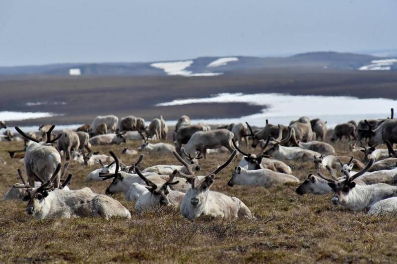 На Таймыре продолжается учёт численности дикого северного оленя