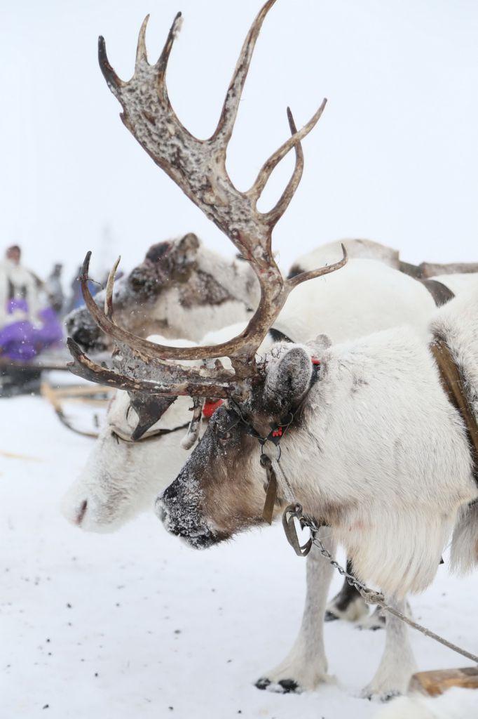 Краевые парламентарии обсуждают проект распределения квот добычи дикого северного оленя на ближайший год.