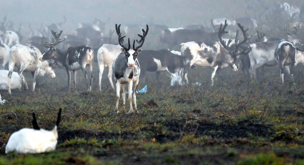 Сохранить оленя. Сегодня в Дудинке проходит первое заседание рабочей группы по сохранению популяции дикого северного оленя.