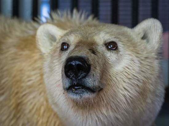 В Роевом ручье медведица из Норильска поправилась до 180 килограммов.