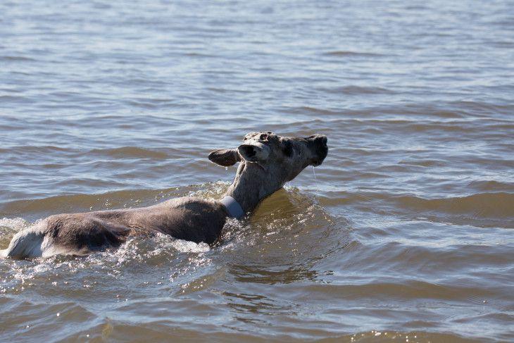 Символом 2020 года в «Заповедниках Таймыра» стал дикий северный олень.