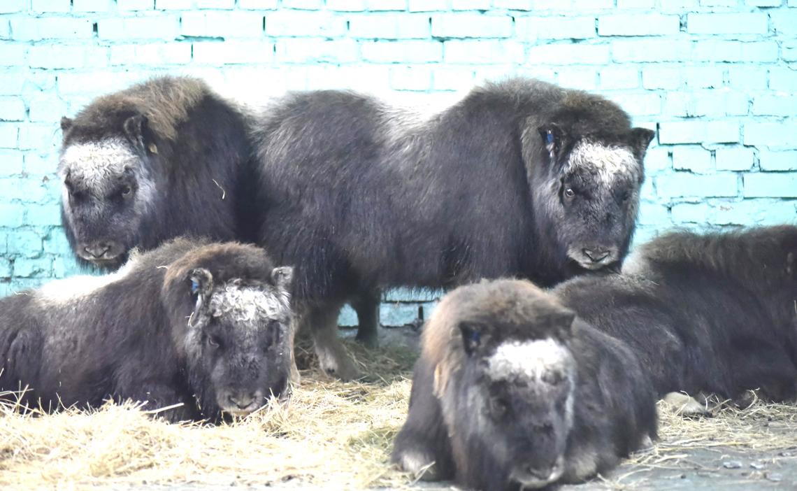 Десять телят овцебыка привезли с Ямала в Таймырский посёлок Волочанка
