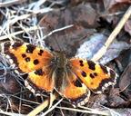 Усики бабочек являются важным сенсорным органом, а также помогают балансировать во время полёта