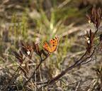Когда бабочка складывает крылышки, можно подумать, что это упавший подсохший листок