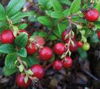 Свежие ягоды брусники, залитые чистой водой, хранятся весь год