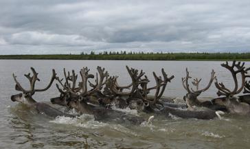 В Красноярском крае отменён режим ЧС, введённый из-за массовой гибели северных оленей