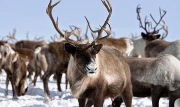 Российские ученые избрали таймырского северного оленя для экспериментов по улучшению генетики вида
